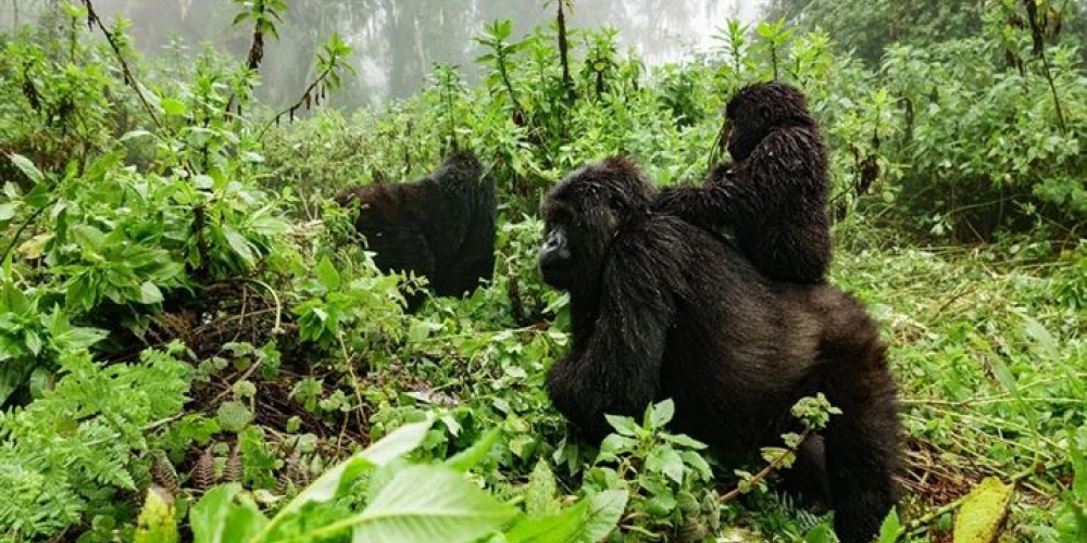 Rwanda Gorilla Families in Volcanoes National Park